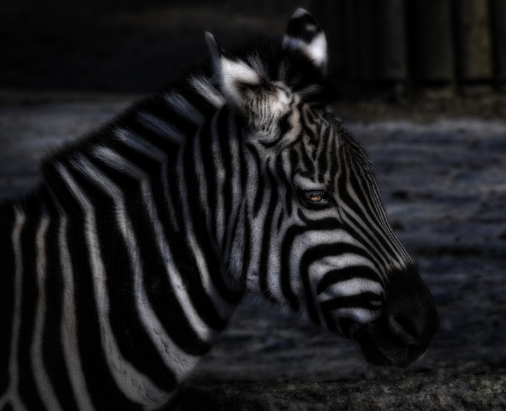 zebra_in_the_dark.jpg